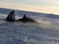 News video: Raw: Whales Trapped Under Ice in Canada